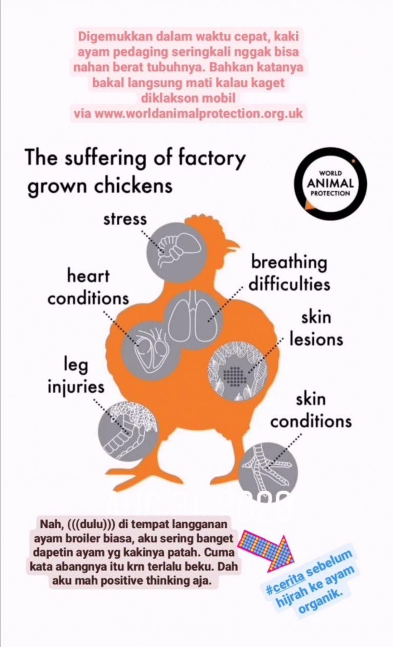 Efek jangka panjang ayam broiler biasa